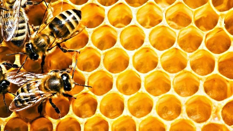 Lebah Cerana