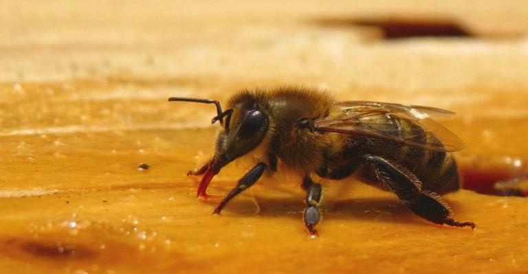 Lebah Melifera