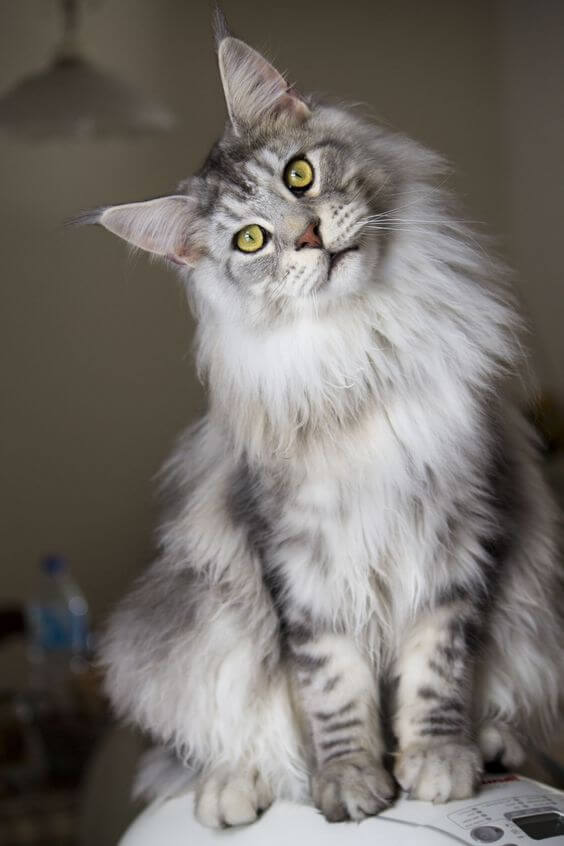 Asal Usul Kucing Maine Coon