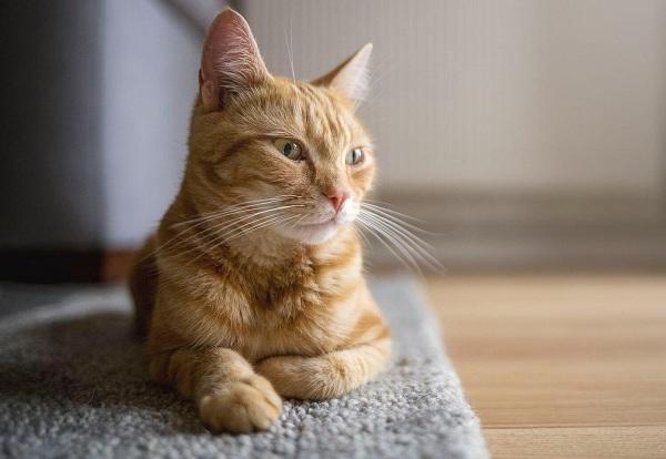 Berhentinya Siklus Birahi Kucing