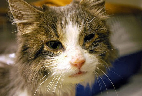 Gejala Flu Pada Kucing