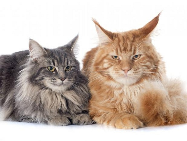 Karakteristik Sifat Kucing Maine Coon