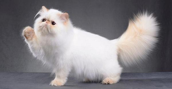Kucing Persia