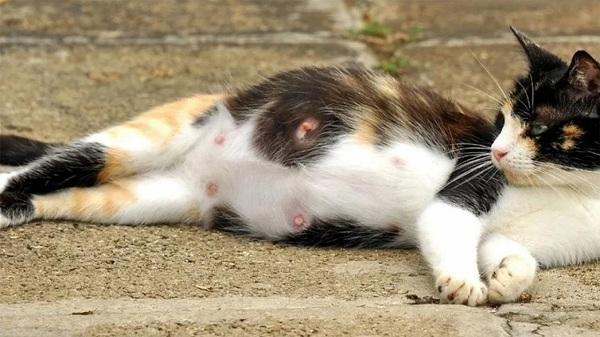 Terjadi Penipisan Bulu pada Bagian Puting Kucing