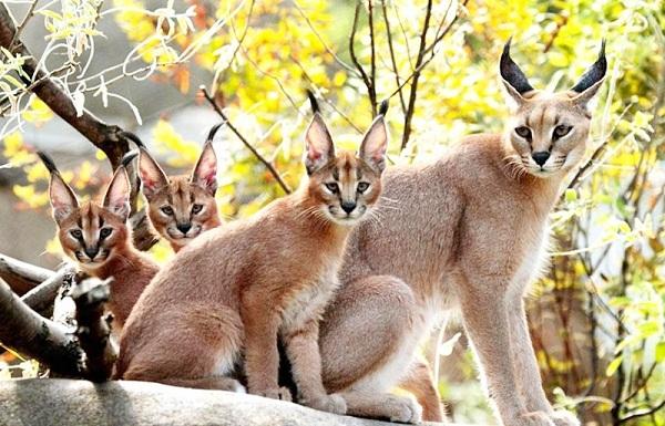 Cara Merawat Kucing Hutan Bagi Pemula