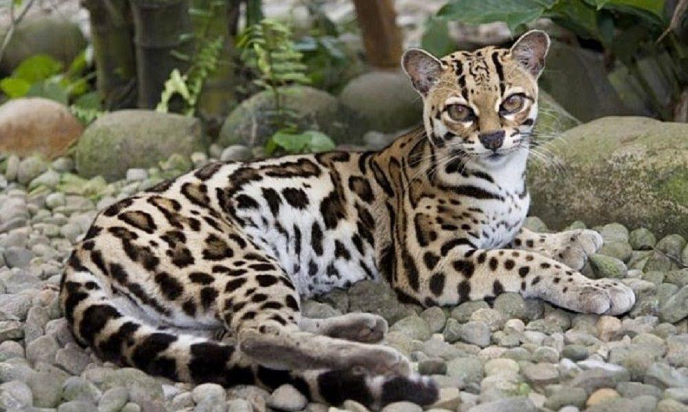Daftar Harga Kucing Hutan Cara Merawatnya Republik Seo
