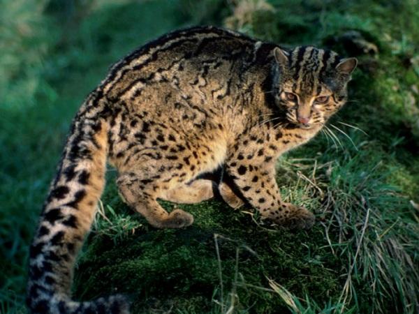 Kucing Batu