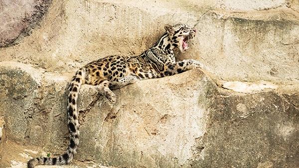 Kucing Macan Dahan Kalimantan