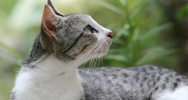 Apa itu Kucing Kampung