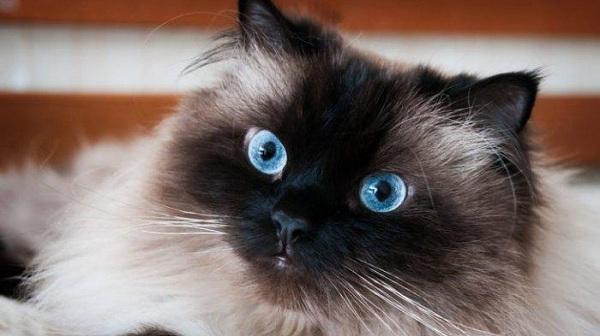 Cara Merawat Kucing Himalaya