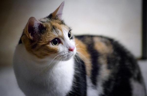Kucing Kampung Calico