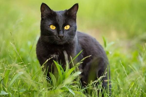 Kucing Kampung Hitam