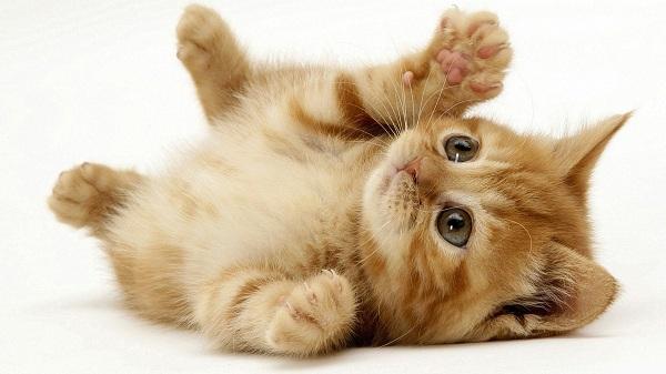 Kucing Kampung Merah Bata