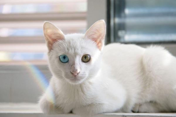 Kucing Kampung Putih
