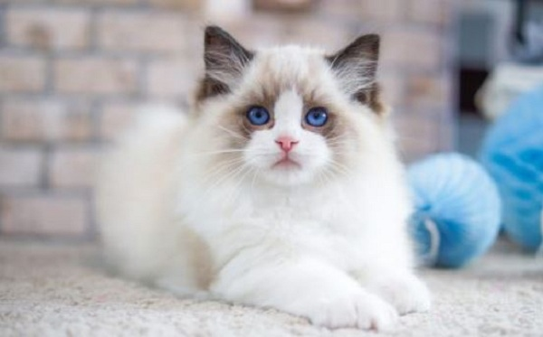 5 Hal Menarik Tentang Kucing Ragdoll