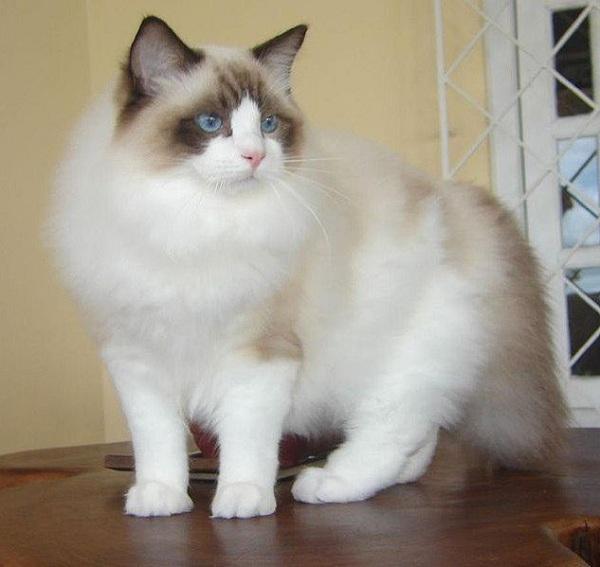 Corak Kucing Ragdoll