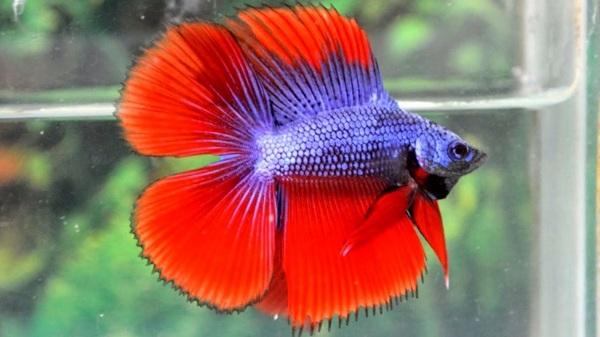 Ikan Cupang Double Tail