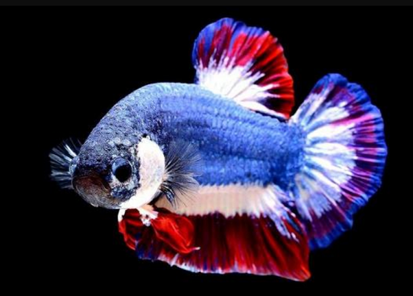 Ikan Cupang Kachen Warachai