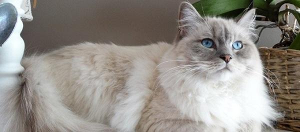 Karakter dan Kebiasaan Kucing Ragdoll