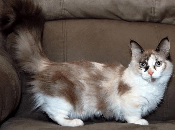 Harga Kucing Munchkin Terbaru
