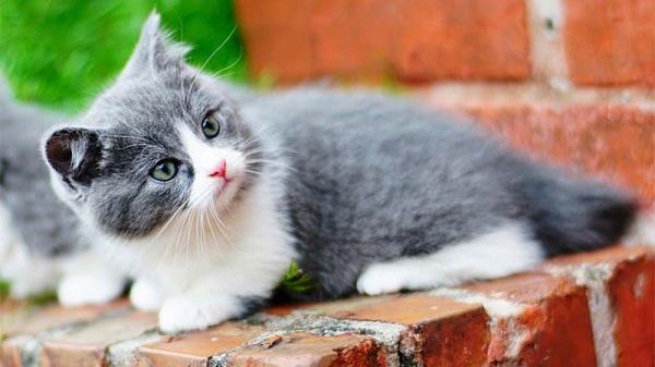 Karakter Dan Sifat Kucing Munchkin