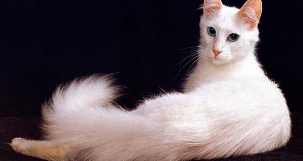 Kucing Anggora Turki