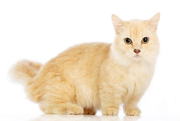 Perawatan Kucing Munchkin