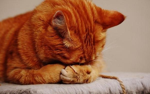 Perawatan Untuk Kucing Yang Terkena Scabies