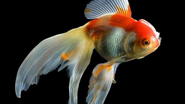 Harga Ikan Mas Koki Termahal