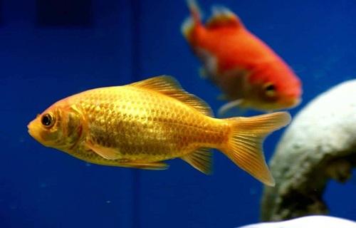 Ikan Komet Marigold