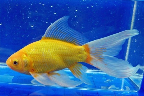 Ikan Komet Yellow