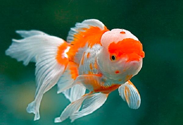 Karakteristik Ikan Mas Koki
