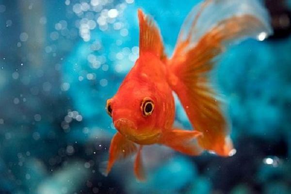 Perawatan Terbaik Ikan Mas Koki