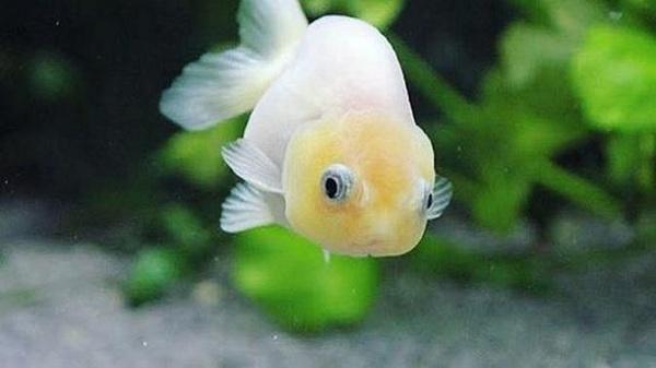 Sejarah Munculnya Ikan Mas Koki